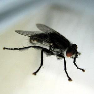 photo d\'une mouche noire